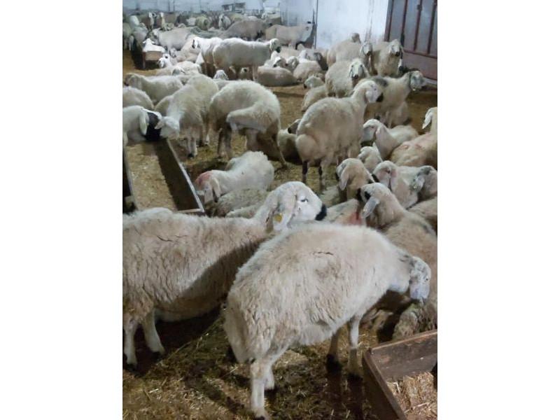Satılık 50 adet kangal toklu erkek