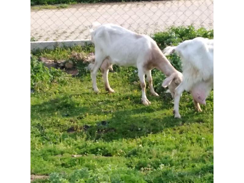 2 keçi 5 erkek oglak