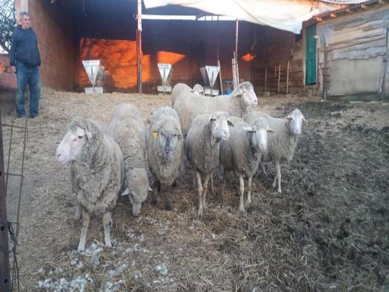 7 adet koyun