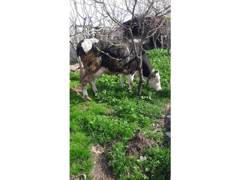 Yavrusu ile satılık inek
