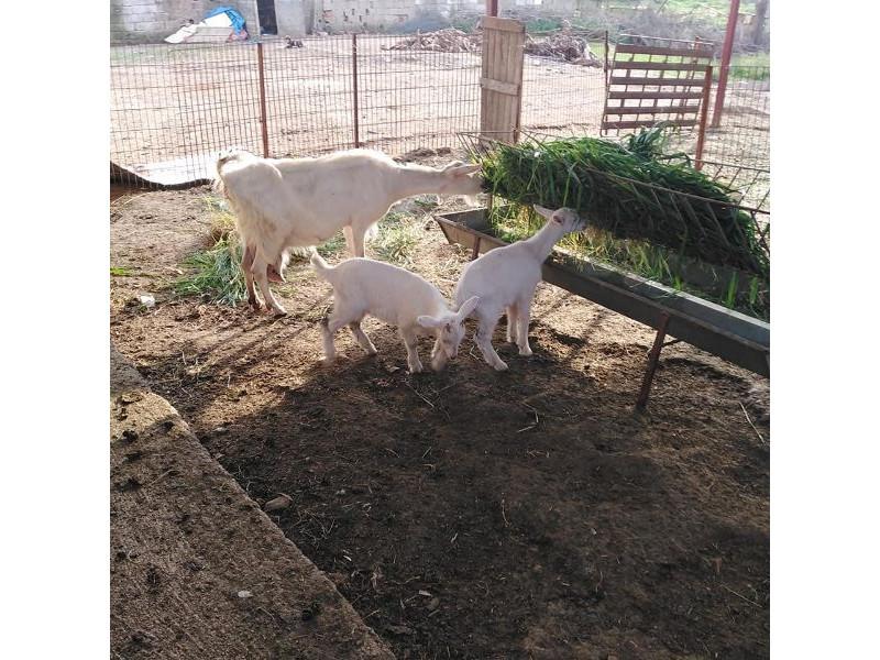 1 keçi 2 oglagı