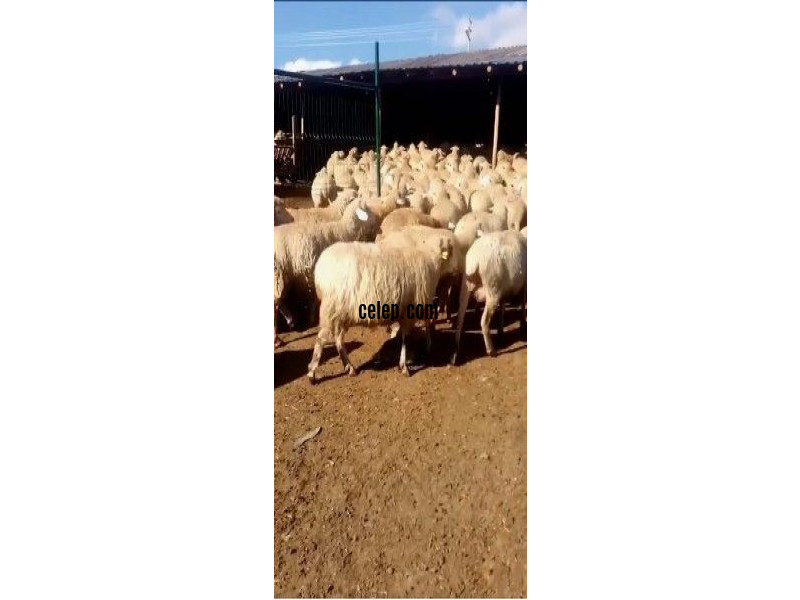 99 koyun 1 koç Arı merinosu