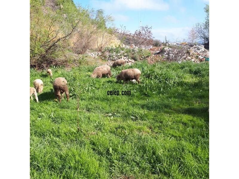 12 koyun 1 koç 11 kuzu