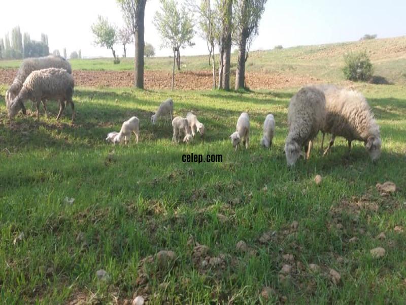 satılık 4 koyun 7 kuzu