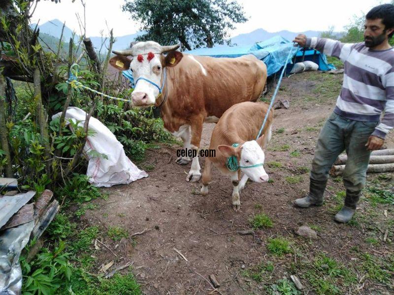 Danası ile satılık simental inek
