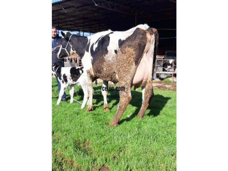 Satılık Süt İnekleri