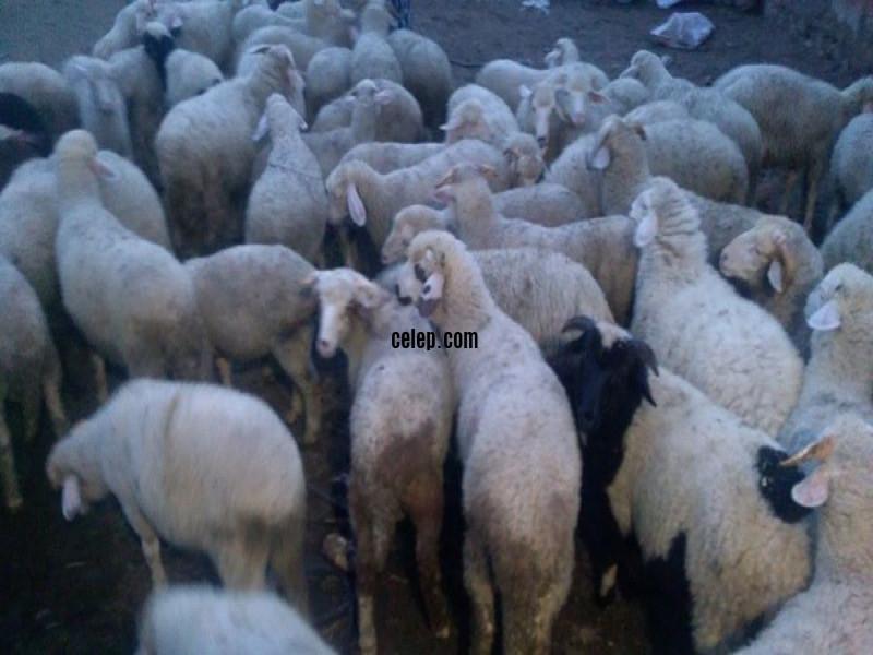 Satılık 80 adet kuzu seç beyen