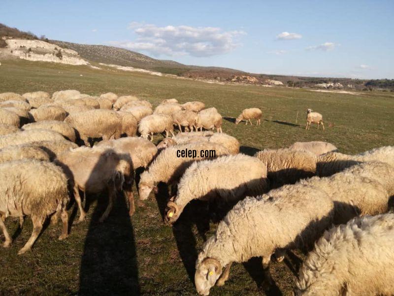 Satilik 65 koyun 3 koç