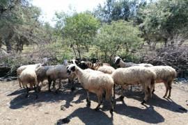 12 koyun