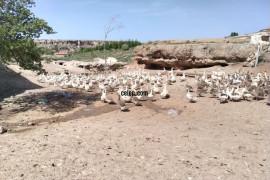 250 adet sürü yarisi yerli yarisi kırma