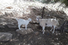 3 anaç 3 yavru keçilerim satılıktır.
