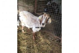 Satılık kısır keçi