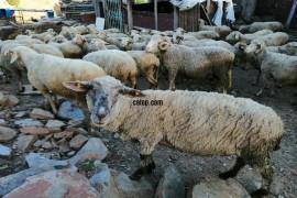 40 koyun 2 koç kıvırcık merinos