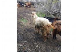 Satılık keçi,37 çebiş 63 tiştor.16 yavru