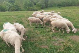 20 tane koçunu almış koyun sahipledirilecektir