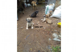 4 tane yavru çoban köpeği