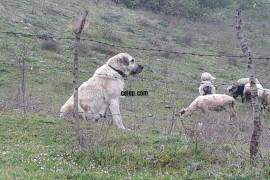 Kurda kusa koyuna muayer köpeğimi sahiplendireceğim