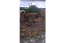 Kangal kopegi koyuna muayerdir