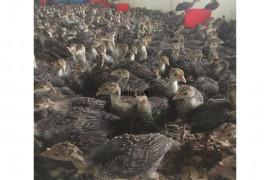 50 adet Satılık Hindi ve Tavuklar