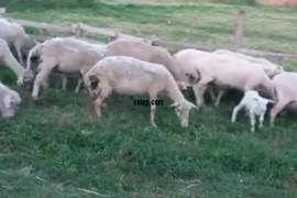 50 adet tayirova koyunu agir gebe