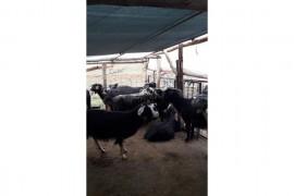 Satılık 70 anaç keçi