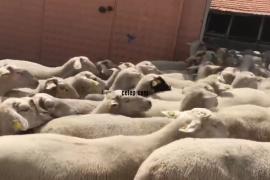 100 damizlik koyun gebe genç
