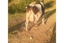 Tohumlu gebe inek