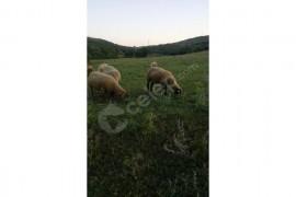 Toplam 36 adet koyun