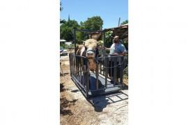 Canlı hayvan kantarı 2 ton Hızlı teslimat