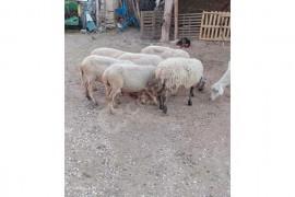 7 koyun genç gebe