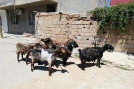 Kampanya 7 tane satilik keçi