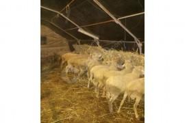 kurbanlık koç ve kuzularınızı çiftliğimizden seçebilirsiniz