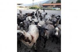 Romonov oglak kurbanlik yerli koyun bulur