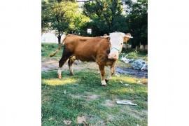 Bir süt rekortmeni ile süt Şampiyonu ne dersen de