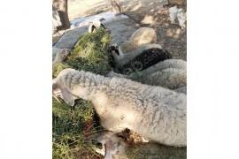 17 tane kurbanlık kuzu