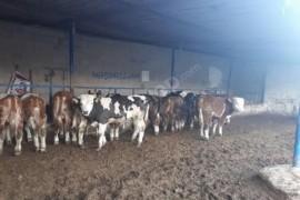 40 adet simantal danlarmiz ve süt ineklerimiz mevcuttur