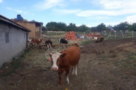  6 adet genc inek.