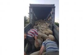 Safkan Karacabey Merinosu Koyunlarımız Satılık