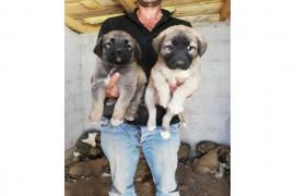 Sivas kangal yavrusu Diși ve erkek  satılık