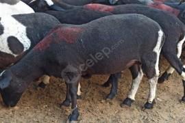 Dorper Siyahı Damızlık 20 Koyun 1 Koç