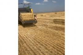 70 lik büyük buğday balyası