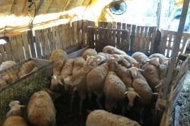 30 adet dişi kuzu