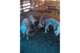 11 adet kuzu 5 dişi 6 erkek toplu satıliktır