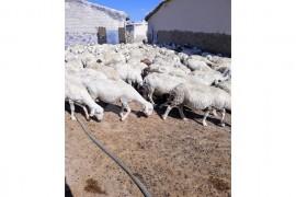 200 adet dubleks genç arı merinos damızlık koyunlar satılık