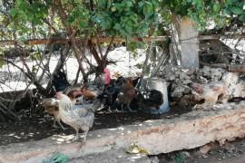 8 tavuk 1 horoz 20 tane felik yer sıkıntısından satılık