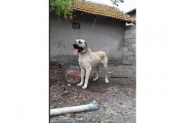 17 aylık erkek köpek satılık