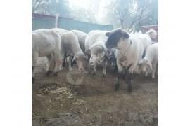 14 adet merinos cinsi koyunlarim sahiplendirilecektir