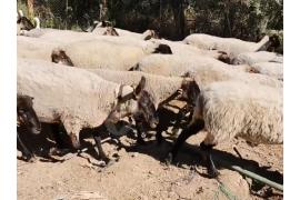 65 tane suffolks koyun 3ve 4 aylık gebe