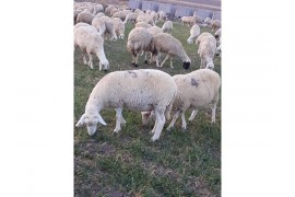 80 adet gebe merinos koyunu