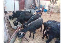 Toplam 14 adet adaklık damızlık kısır keçi